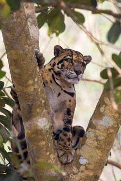 HMS2653617 India, Tripura state, Clouded leopard (Neofelis nebulosa)