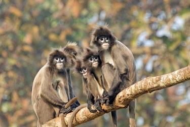 HMS2653619 India, Tripura state, Phayre's leaf monkey or Phayre's langur (Trachypithecus phayrei)