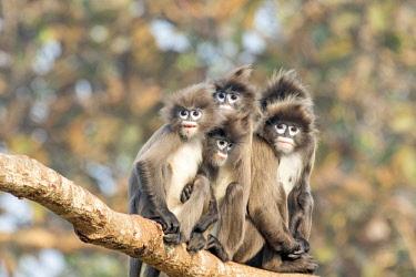 HMS2653620 India, Tripura state, Phayre's leaf monkey or Phayre's langur (Trachypithecus phayrei)