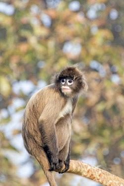 HMS2653621 India, Tripura state, Phayre's leaf monkey or Phayre's langur (Trachypithecus phayrei)