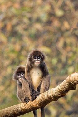 HMS2653622 India, Tripura state, Phayre's leaf monkey or Phayre's langur (Trachypithecus phayrei)
