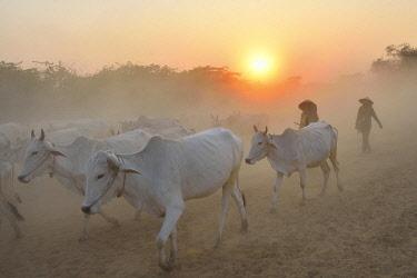 HMS3184071 Myanmar, Bagan, Cow herd and shepherds at sunset