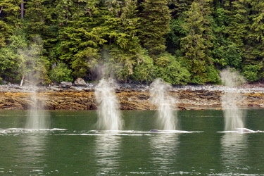 USA13729 USA, Baranof Island, Alaska. A pod of Humpback whales exhaling air through their blowholes as they surface to breathe.