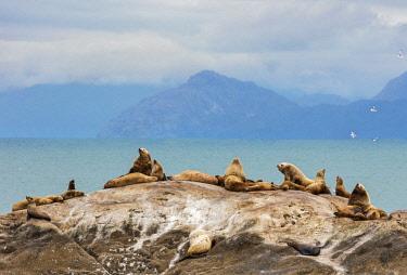 USA13737 USA, Glacier Bay National Park, Alaska. Steller's Sea Lions in the Glacier Bay National Park.