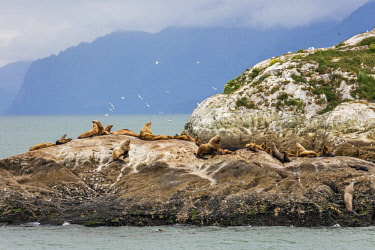 USA13738 USA, Glacier Bay National Park, Alaska. Steller's Sea Lions in the Glacier Bay National Park.