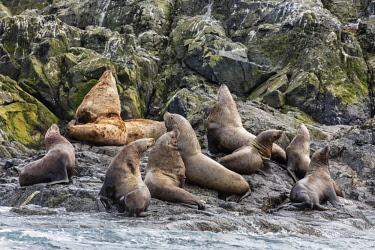 USA13739 USA, Inian Islands, Alaska. Steller's Sea Lions in the Inian Islands.