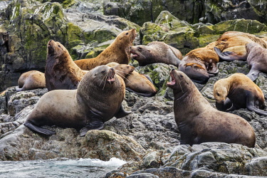 USA13740 USA, Inian Islands, Alaska. Steller�s Sea Lions in the Inian Islands. Males are vcocal in protecting their territory.