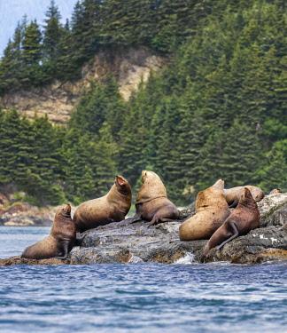 USA13741 USA, Inian Islands, Alaska. Steller's Sea Lions in the Inian Islands.