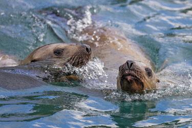 USA13742 USA, Inian Islands, Alaska. Young Steller's Sea Lions swimming off the Inian Islands.