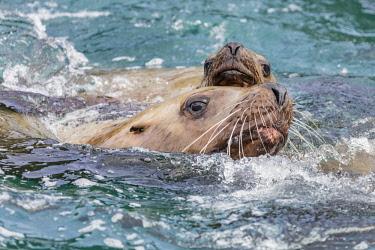 USA13743 USA, Inian Islands, Alaska. Young Steller's Sea Lions swimming off the Inian Islands.