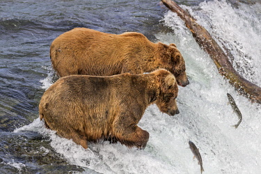 USA13790 USA, Katmai National Park, Brook Falls, Alaska. Brown bears wait to catch sockeye salmon as they leap over Brook Falls on their way to their spawning grounds.
