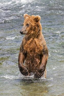 USA13793 USA, Katmai National Park, Brook Falls, Alaska. An immature Brown bear stands on its hind legs to survey its surroundings.