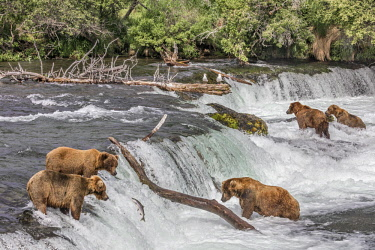 USA13797 USA, Katmai National Park, Brook Falls, Alaska. Brown bears wait to catch sockeye salmon as they leap over Brook Falls on their way to their spawning grounds.