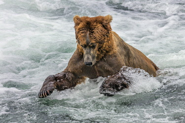 USA13800 USA, Katmai National Park, Brook Falls, Alaska. A Brown bear pounces on a sockeye salmon as it prepares to leap over Brook Falls on its way to spawning grounds.
