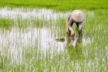 HMS2479781 Vietnam, Quang Nam province, near Hoi An, paddy cultivation