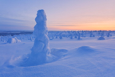 CLKRM89009 Lone frozen tree in the snowy woods, Riisitunturi National Park, Posio, Lapland, Finland