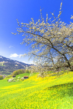 CLKFB89492 Spring blooms in Sankt Antonien, Prattigau valley, District of Prattigau/Davos, Canton of Graubunden, Switzerland, Europe.