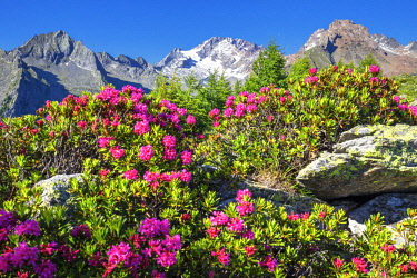 CLKFB91964 Flowering of rhododendrons with Mount Disgrazia in the background. Mount Scermendone, Valmasino, Valtellina, Lombardy, Italy
