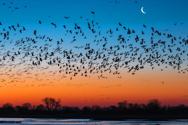 ARRITY000345 Beautiful nature photograph with silhouettes of flock of sandhill crane (Antigone canadensis) birds flying above Platte River at sunset, Kearney, Nebraska, USA