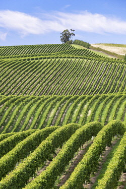 IBXROH04718425 Vineyards, Marlborough Region, South Island, New Zealand, Oceania