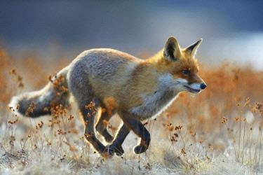 IBXBZO04529664 Red fox (vulpes vulpes), running across a meadow, Bohemian Forest, Czech Republic, Europe