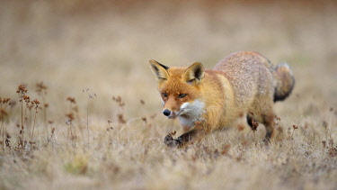 IBXBZO04563726 Red fox (Vulpes vulpes), runs in Meadow, Moravia, Czech Republic, Europe