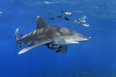 IBXNPR04645198 Oceanic whitetip shark (Carcharhinus longimanus) surrounded by Pilot Fishes (Naucrates ductor) floats in the open sea, Red Sea, Egypt, Africa
