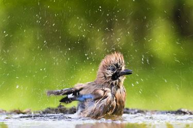 IBXCPA04609048 Eurasian jay (Garrulus glandarius) splashes while bathing, Bács-Kiskun, Hungary, Europe