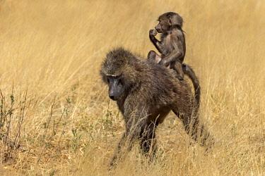 IBXATU04620353 Olive Baboon (Papio anubis), riding on its mothers back, Samburu National Park, Kenya, Africa