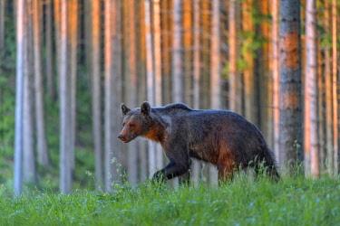 IBXBZO04541316 Brown bear (Ursus arctos), running through grass in spruce high forest, evening light, Malá Fatra, Little Fatra, Slovakia, Europe