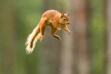 IBXCRU04558879 Eurasian red squirrel (Sciurus vulgaris) jumps through the air, Cairngroms National Park, Highlands, Scotland, Great Britain