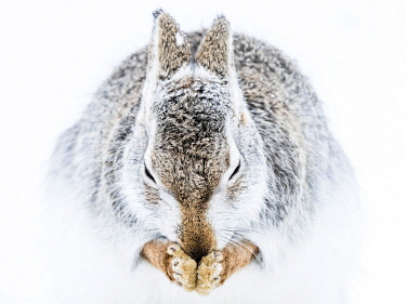 IBXCRU04648360 Mountain hare (Lepus timidus) cleans itself in the snow, animal portrait, winter coat, Cairngroms National Park, Highlands, Scotland, Great Britain