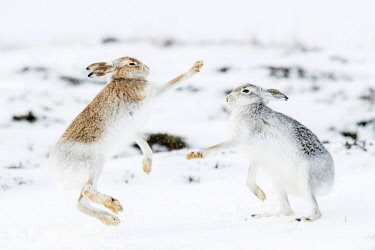 IBXCRU04648365 Mountain hares (Lepus timidus) boxing in the snow, behavior. hierarchy, winter coat, Cairngroms National Park, Highlands, Scotland, Great Britain
