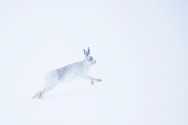 IBXCRU04648377 Mountain hare (Lepus timidus) running in snow, winter coat, Cairngroms National Park, Scottish Highlands, Scotland, United Kingdom, Europe