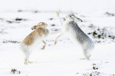 IBXCRU04648380 Mountain hares (Lepus timidus) boxing in the snow, behavior. hierarchy, winter coat, Cairngroms National Park, Highlands, Scotland, Great Britain