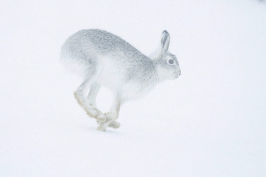 IBXCRU04648383 Mountain hare (Lepus timidus) running in snow, winter coat, Cairngroms National Park, Scottish Highlands, Scotland, United Kingdom, Europe