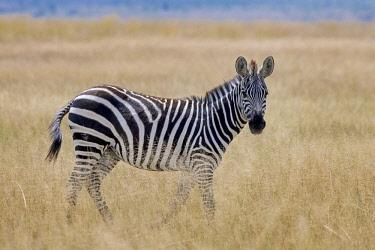 IBXERI04717355 Plains Zebra (Equus quagga) in the steppe grass, Amboseli National Park, Kenya, East Africa, Africa