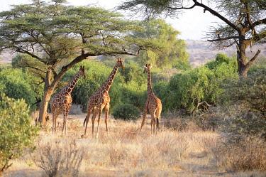 IBXFRW04094462 Reticulated Giraffe, Somali Giraffe (Giraffa camelopardalis reticulata), bull standing in a dry river bed under acacia trees, Samburu National Reserve, Kenya, Africa