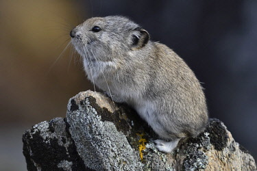 IBXGEK04600862 Collared pika (Ochotona collaris), sits on rock, Denali National Park, Alaska, USA, North America