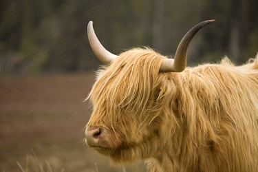 IBXGIR04469544 Highland Cattle (Bos taurus) on a pasture, Scotland, United Kingdom, Europe