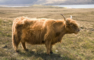 IBXGIR04469549 Highland Cattle (Bos taurus) on a pasture, Scotland, United Kingdom, Europe