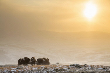 IBXPFA04072203 Muskoxen (Ovibos moschatus) in a snowstorm in backlight, Dovrefjell-Sunndalsfjella National Park, Norway, Europe