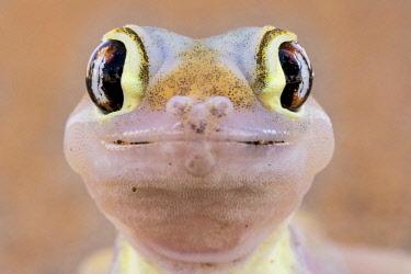 IBXPFA04678654 Namib sand gecko (Pachydactylus rangei), animal portrait, Namib-Naukluft Park, Namibia, Africa