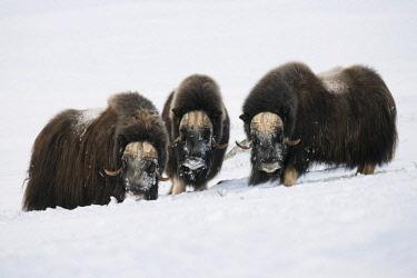 IBXROH04077908 Muskoxen (Ovibos moschatus), three bulls, Dovrefjell- Sunndalsfjella National Park, Norway, Europe