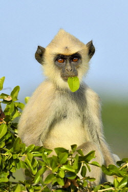 IBXSHU04639734 Tufted gray langur (Semnopithecus priam), cub sitting on tree with leaf in mouth, eating, Bundala National Park, Sri Lanka, Asia