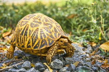 IBXSHU04642278 Indian Star Tortoise (Geochelone elegans), Yala National Park, Southern Province, Sri Lanka, Asia
