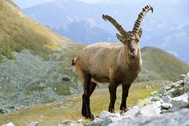 IBXAIC04571535 Alpine Ibex (Capra ibex), Rottenmanner Tauern, Styria, Austria, Europe