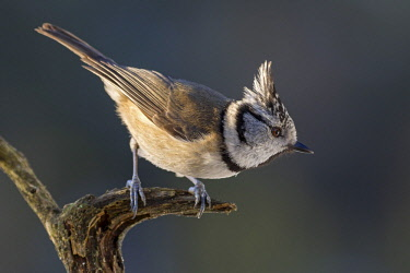 IBXANO04663532 Crested tit (Parus cristatus), sits on a dead branch, Tyrol, Austria, Europe