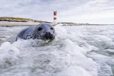 IBXCRU04537809 Grey seal (Halichoerus grypus) in the water, at back lighthouse, North Sea, Helgoland-Düne, Heligoland, Germany, Europe