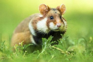 IBXCRU04551264 European hamster (Cricetus cricetus) in meadow, Lower Austria, Austria, Europe